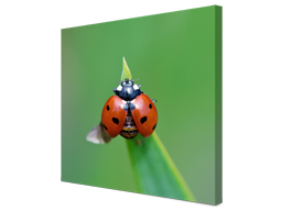 close up canvas ladybug